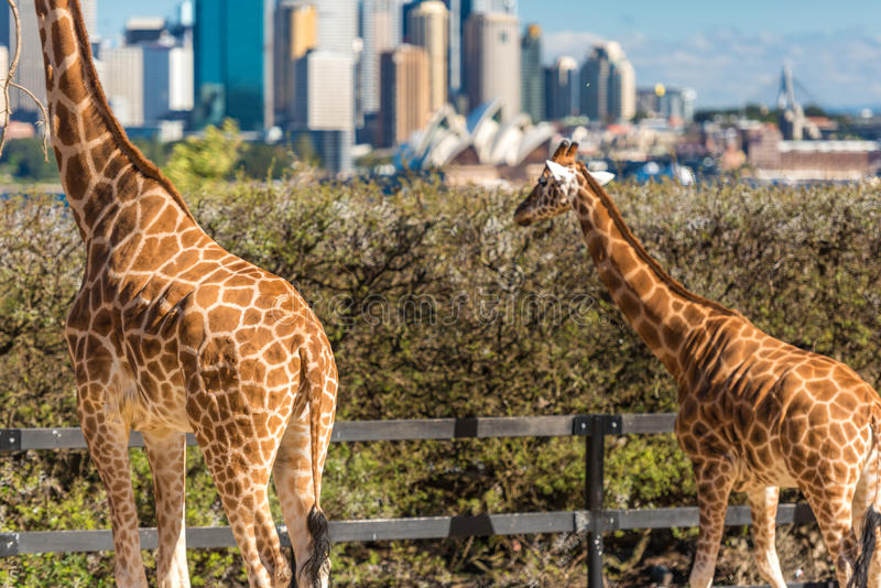Adorable giraffes with Sydney Opera House and Sydney CBD view. Sydney, Australia - July 23, 2016: Adorable giraffes against iconic view of Sydney Opera House and stock images