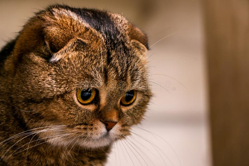 Adorable golden chinchilla Scottish fold cat. Scottish fold cat are a really special and friendly cat breed famous for their folded little ears and their royalty free stock image