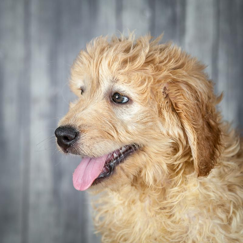 Adorable Golden-doddle Puppy royalty free stock photos