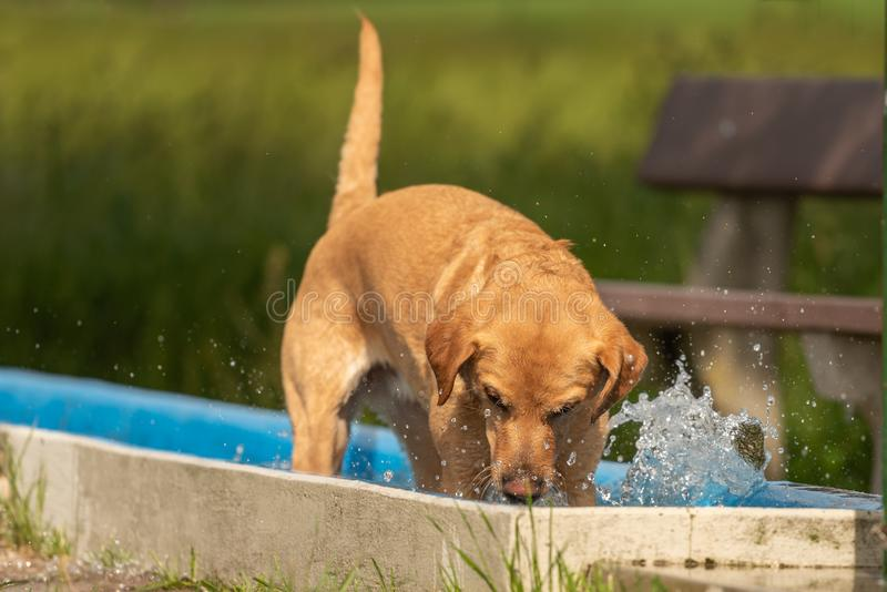 Adorable Golden Retriever dog is playing in the water and has joy. Adorable young Golden Retriever dog is playing in the water and has joy royalty free stock photography
