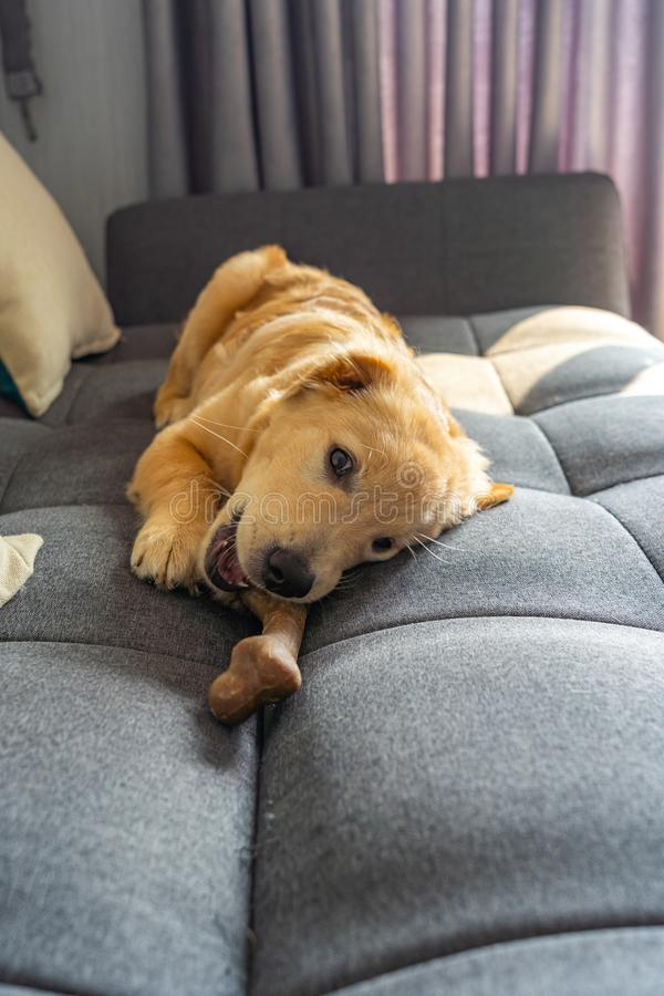 Little golden retriever playing with tasty rawhide bone on sofa royalty free stock photos
