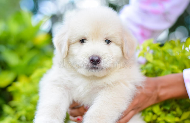 An Adorable Golden Retriever Puppy royalty free stock photography