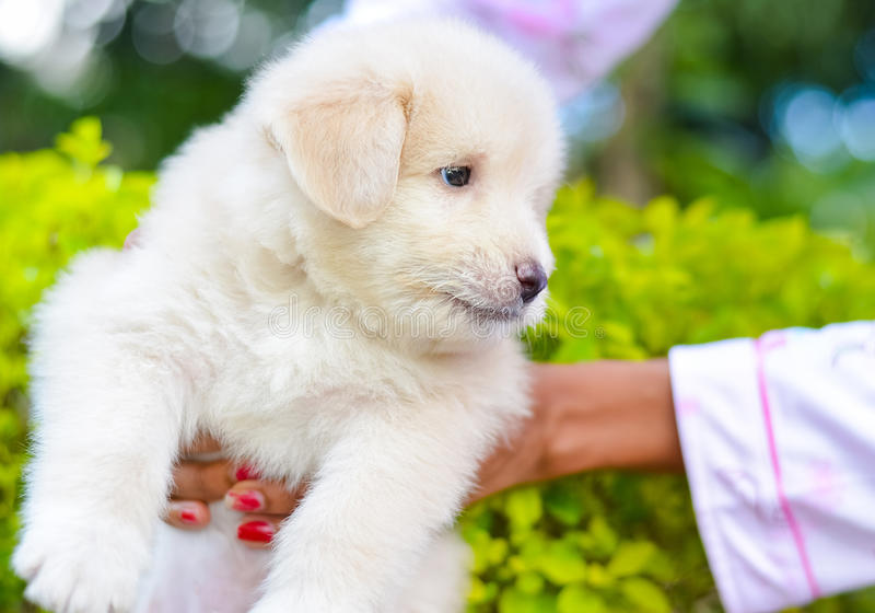 An Adorable Golden Retriever Puppy. Golden Retriever Dogs Have An Instinctive Love Of Water And Are Easy To Train To Basic Or Advanced Obedience Standards stock photo