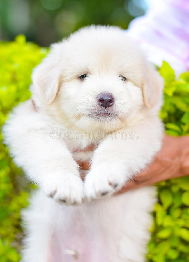 An Adorable Golden Retriever Puppy. Golden Retriever Dogs Have An Instinctive Love Of Water And Are Easy To Train To Basic Or Advanced Obedience Standards royalty free stock image