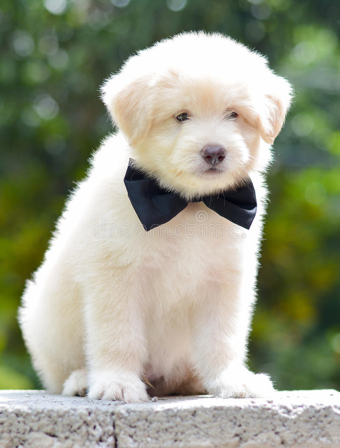 Adorable Golden Retriever Puppy. An Adorable Golden Retriever Puppy. Golden Retriever Dogs Have An Instinctive Love Of Water And Are Easy To Train To Basic Or royalty free stock photos