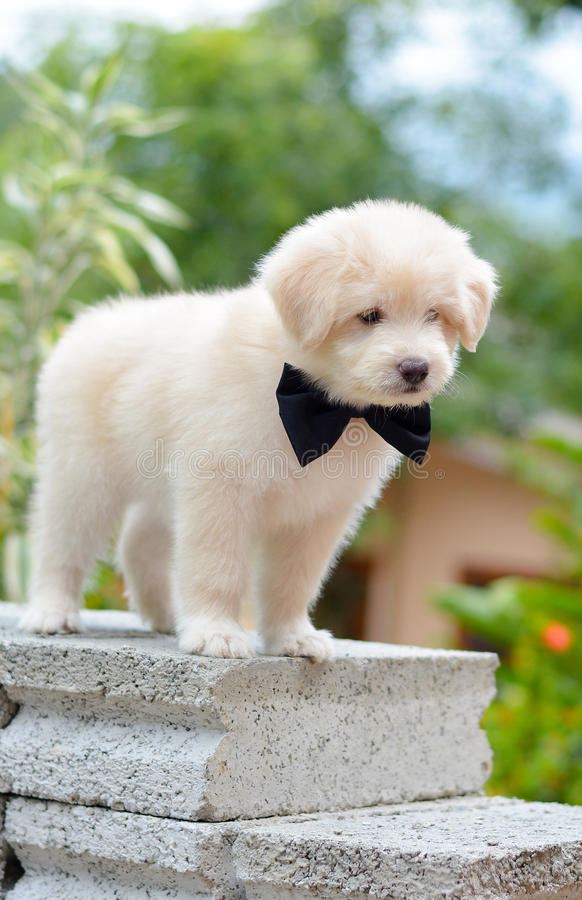 Adorable Golden Retriever Puppy. An Adorable Golden Retriever Puppy. Golden Retriever Dogs Have An Instinctive Love Of Water And Are Easy To Train To Basic Or royalty free stock images