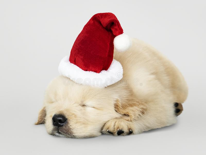 Adorable Golden Retriever puppy sleeping while wearing Santa hat royalty free stock photography