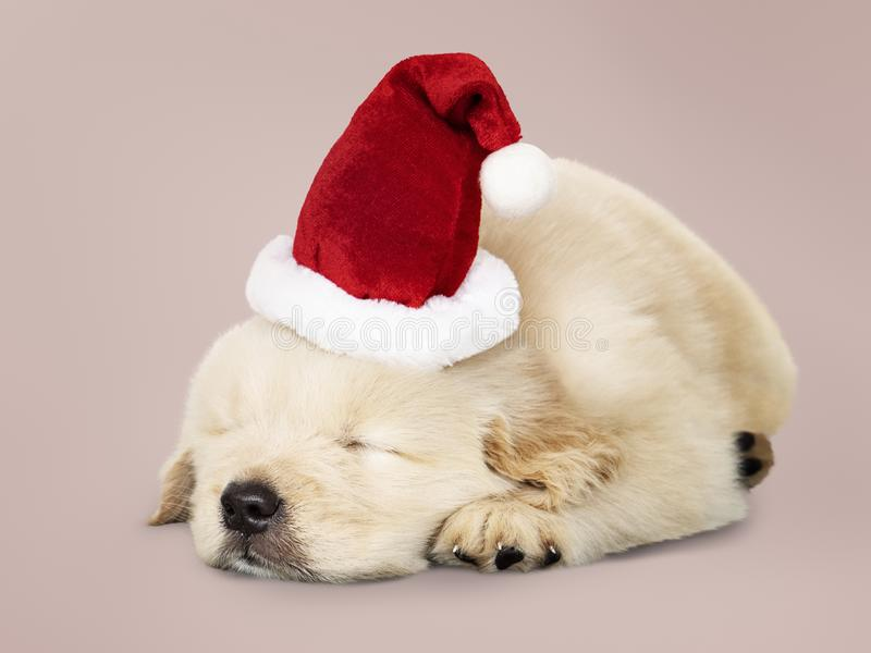 Adorable Golden Retriever puppy sleeping while wearing Santa hat stock photography