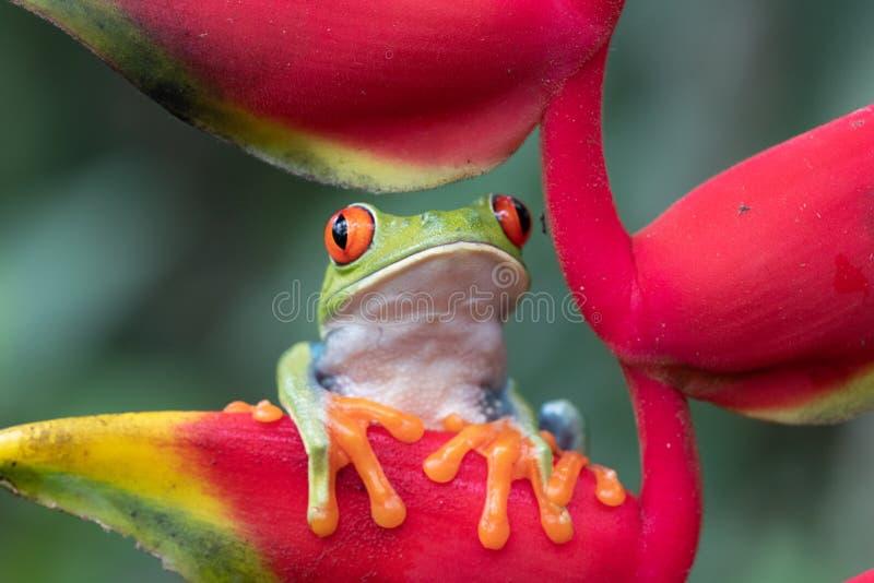 Adorable grenouille rouge et verte sur la fleur rouge vif sous les tropiques photos libres de droits