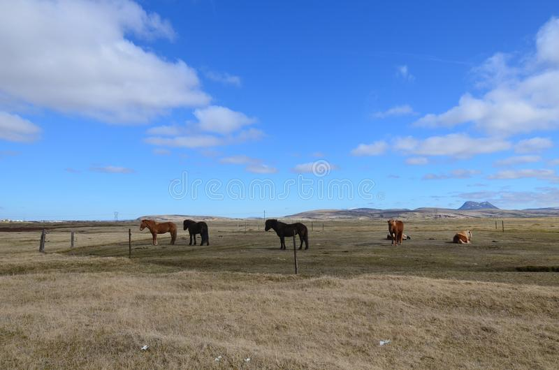 Group of beautiful Icelandic horses fenced in royalty free stock photo