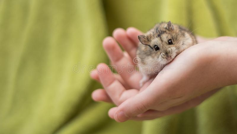 Hamster Cuteness in a childs hands stock image