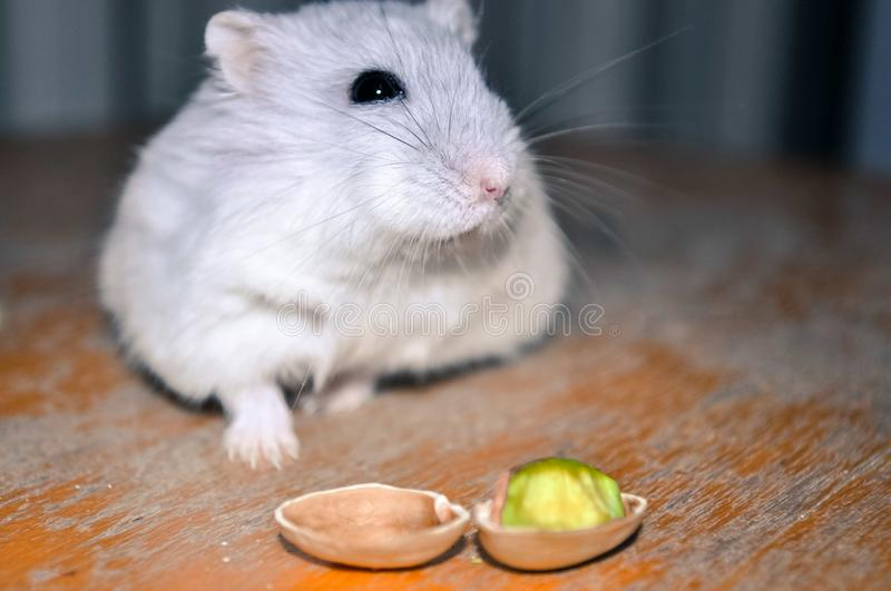An adorable hamster sniffing around, looking for a pistacchio nut, sitting on a wooden chair stock photos