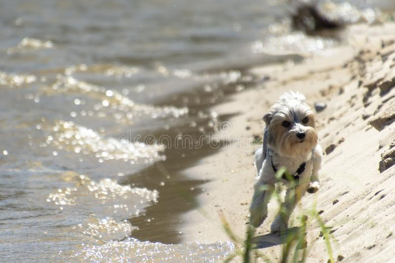 Adorable, happy black, grey and white Biewer York Dog running on the beach on a bright sunny day. royalty free stock photography