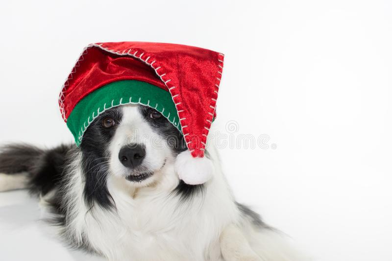 ADORABLE AND HAPPY BORDER COLLIE DOG CELEBRATING CHRISTMAS WITH. A SANTA HAT ISOLATED ON WHITE STUDIO BACKGROUND WITH COPY SPACE stock photo
