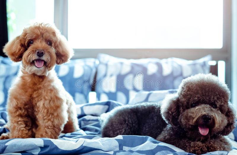 An adorable happy brown and black Poodle dog smiling and relaxing on messy bed after wake up with the owner in the morning.  royalty free stock photography