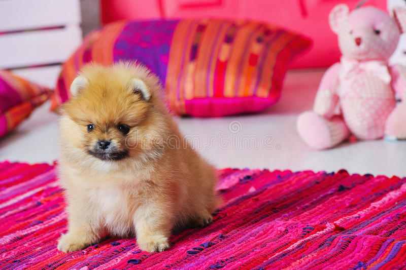 Adorable high bred spitz puppy. In pink decorations royalty free stock photography