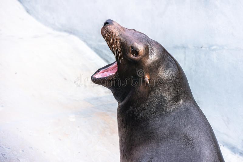 Adorable hungry sea lion seal with opened mouth and smooth wet skin head shoot royalty free stock images