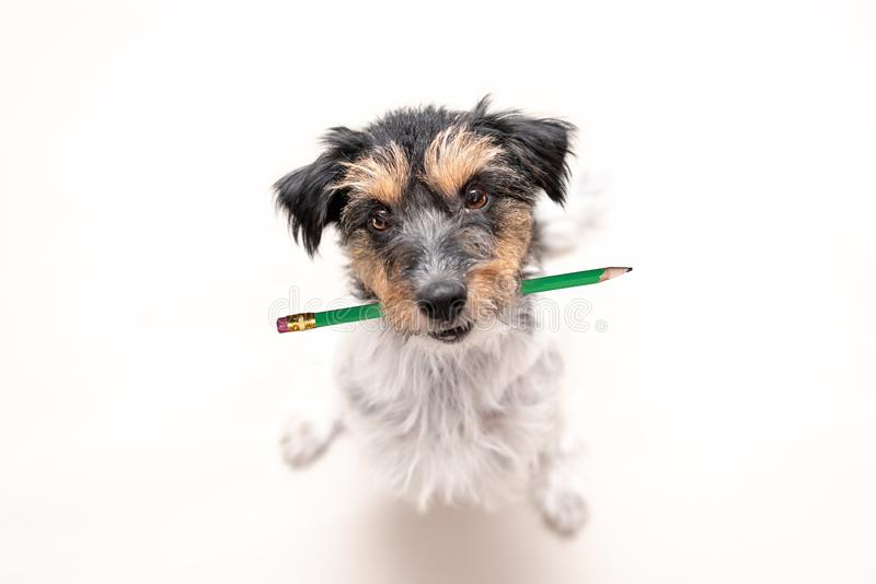 Adorable Jack Russell Terrier dog holds a pencil in his mouth. Cute office dog is looking up royalty free stock image