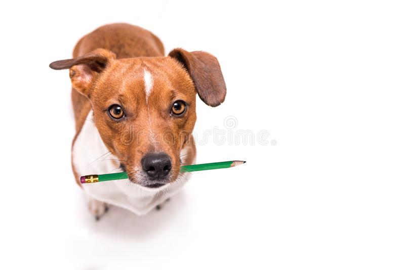 Adorable Jack Russell Terrier dog holds a pencil in his mouth. Cute office dog stock photo