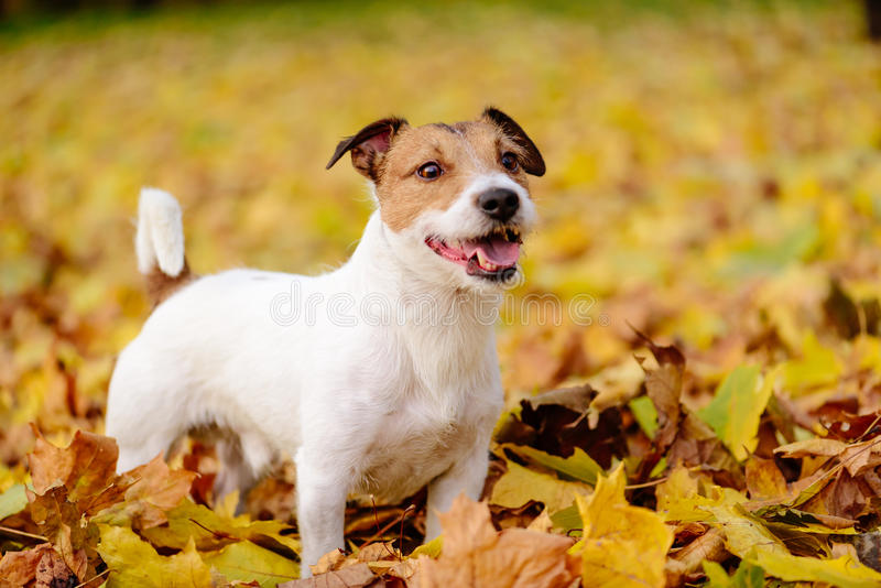 Adorable Jack Russell Terrier pet dog standing on autumn yellow. Jack Russell Terrier dog walking without lead royalty free stock image