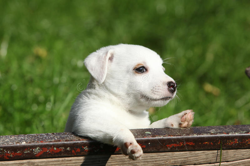 Download Adorable Jack Russell Terrier Puppy Stock Image - Image: 34323853