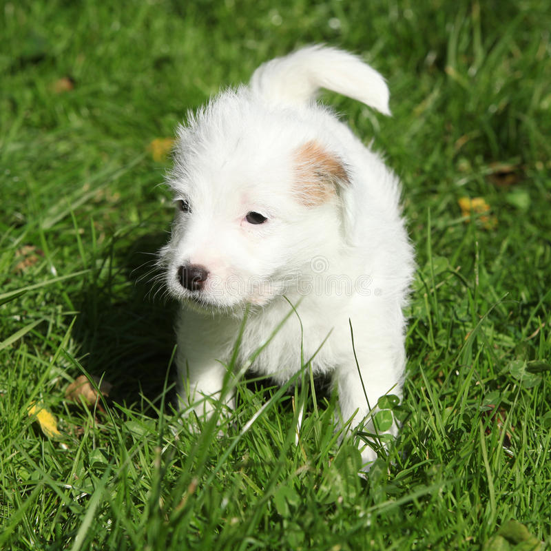 Download Adorable Jack Russell Terrier Puppy Standing Stock Image - Image: 34323891