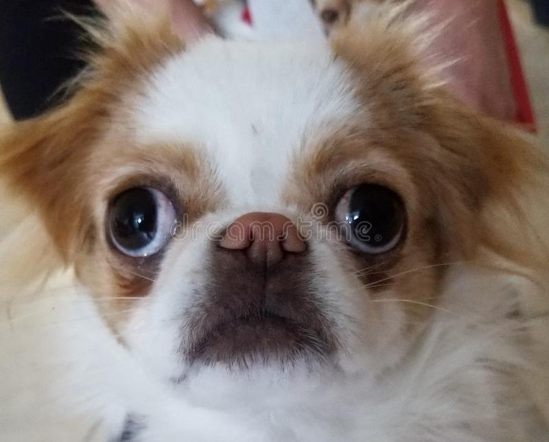 Adorable Japanese Chin Puppy stock photography
