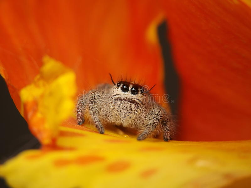 Adorable jumping spiders royalty free stock photos
