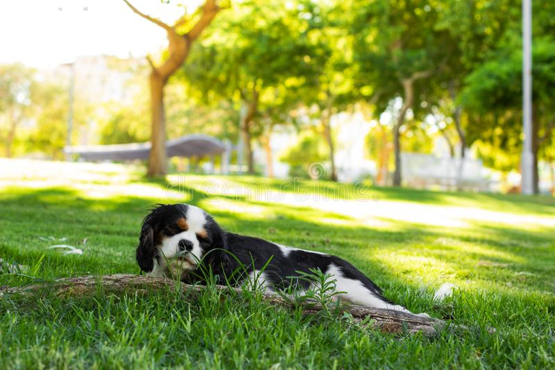 Adorable King Charles Cavalier lay on a green grass in sunny spring time park peaceful bright outdoor natural environment. Adorable King Charles Cavalier lay on royalty free stock images