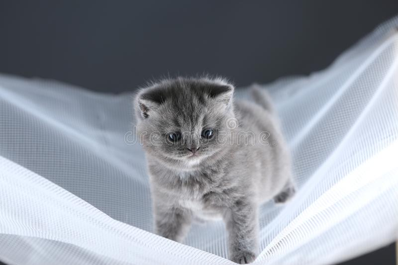 British Shorthair kittens on a white net, cute portrait royalty free stock images