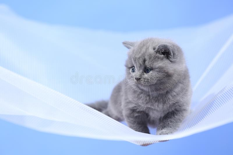 British Shorthair blue kitten on a white net, portrait. Adorable kittens, British Shorthair kittens sitting on a white net stock photography