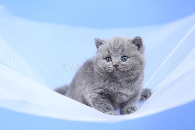 British Shorthair blue kitten on a white net, portrait. Adorable kittens, British Shorthair kittens sitting on a white net royalty free stock photos