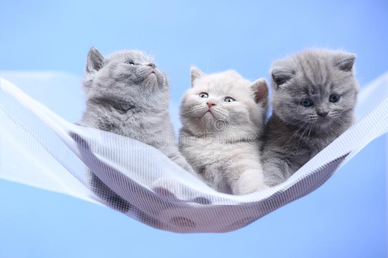 British Shorthair blue and lilac kitten on a white net, portrait. Adorable kittens, British Shorthair kittens sitting on a white net royalty free stock photography