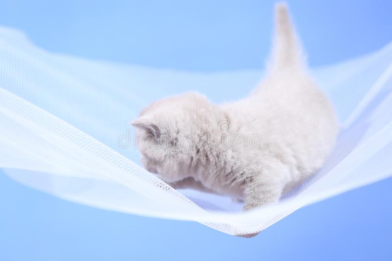 British Shorthair lilac kitten on a white net, portrait. Adorable kittens, British Shorthair kittens sitting on a white net stock photography