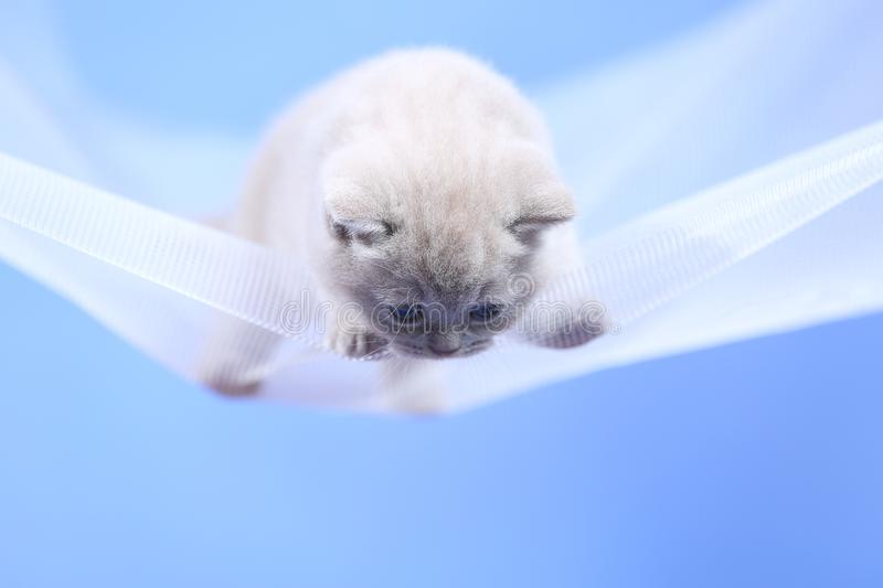 British Shorthair lilac kitten on a white net, portrait. Adorable kittens, British Shorthair kittens sitting on a white net stock images
