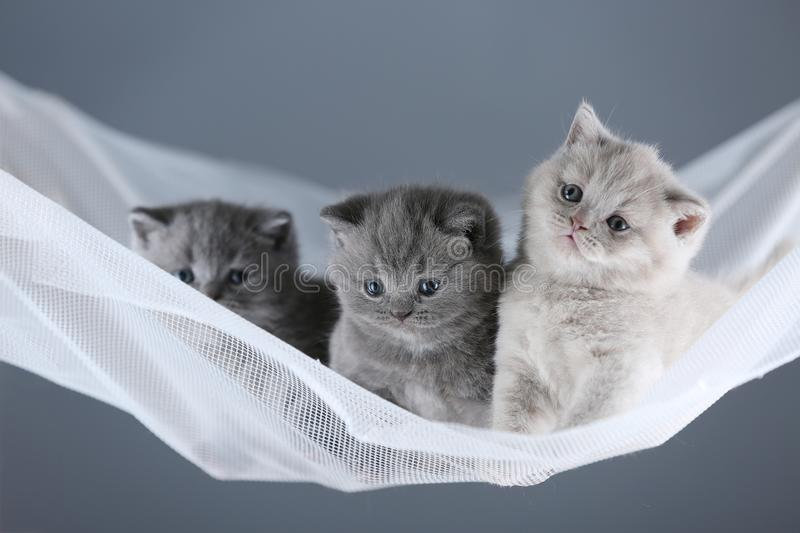 British Shorthair Blue And Lilac Kittens In A Swing Stock Photo Image Of Meow Baskets 119590982