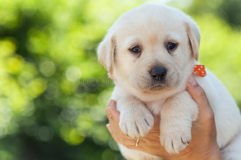 Adorable labrador puppy dog resting in woman palms stock photography
