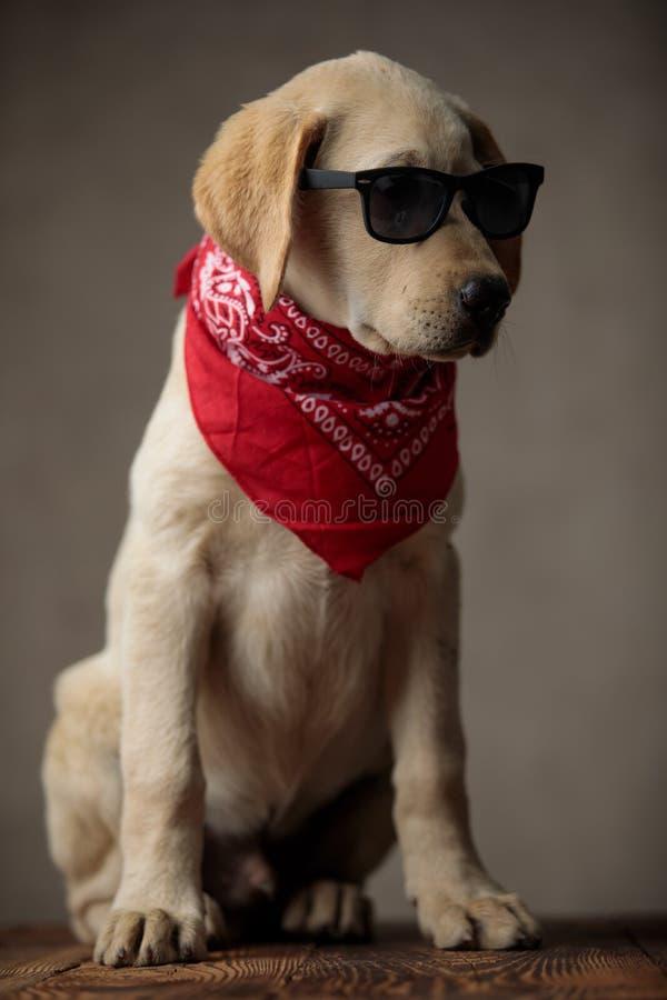 Adorable Labrador Retriever mit Sonnenbrille und roter Bandana stockfotografie