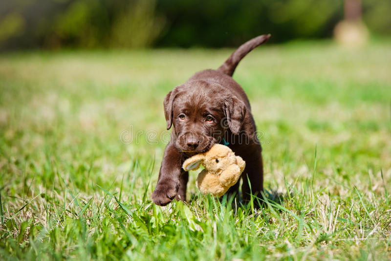 Adorable labrador retriever puppy. Labrador retriever puppy outdoors in summer royalty free stock photo