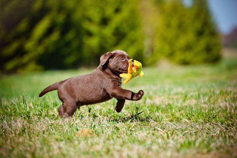 Adorable labrador retriever puppy. Labrador retriever puppy outdoors in summer royalty free stock photography