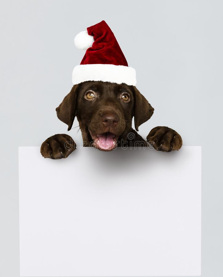 Adorable Labrador Retriever puppy wearing a Christmas hat holding a board mockup stock photo
