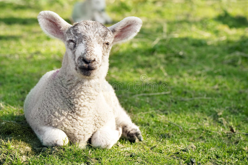 Adorable Lamb Royalty Free Stock Photography