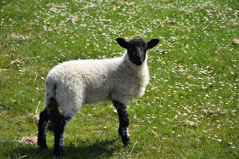 Adorable Lamb with a Sweet Black Face in a Grass Field royalty free stock photography