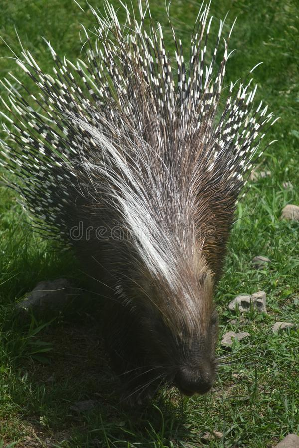 Adorable large brown porcupine walking on grass. Cute brown and white quilled porcupine stock image