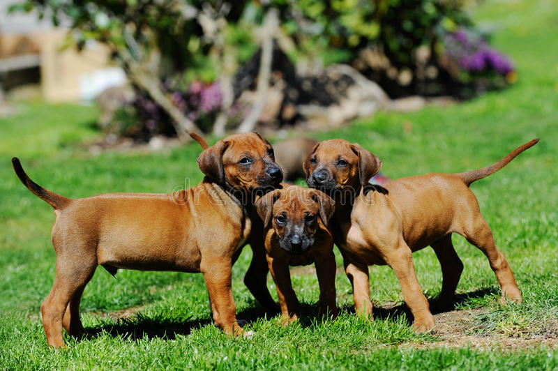 Download Rhodesian Ridgeback Brown Adorable Dog - adorable-litter-puppies-playing-whole-little-rhodesian-ridgeback-together-garden-little-dogs-six-weeks-39952033  Photograph_943972  .jpg