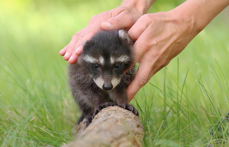 Adorable baby raccoon Procyon lotor in human hands stock images