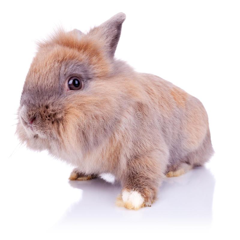 Adorable little brown bunny looking at the camera stock photo