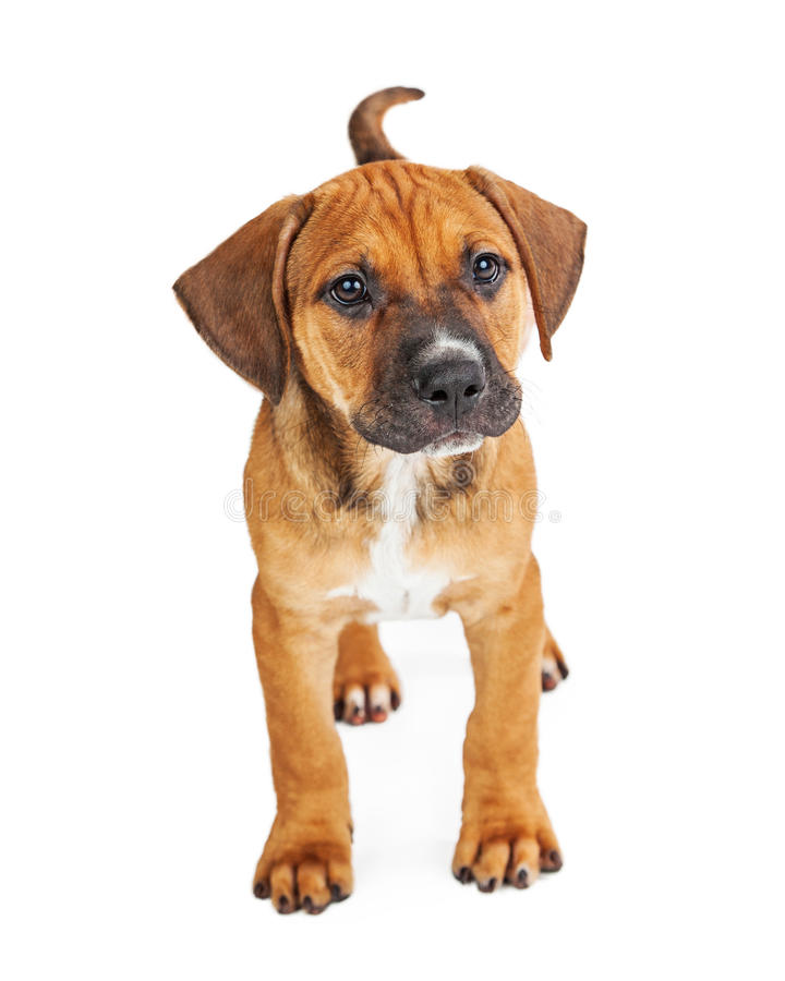 Little Brown Boston Terrier Puppy Stock Image