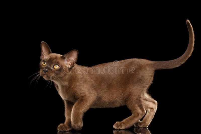 Adorable little Burma Kitty Walking Isolated Black Background stock image