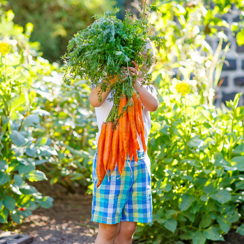 Adorable little child with carrots in domestic garden royalty free stock images